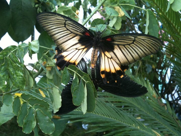farfalle 4
